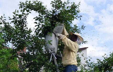 Bienenschwarm wird vom Baum abgenommen.