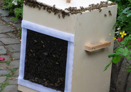 Bienenschwarm in der Fangbox