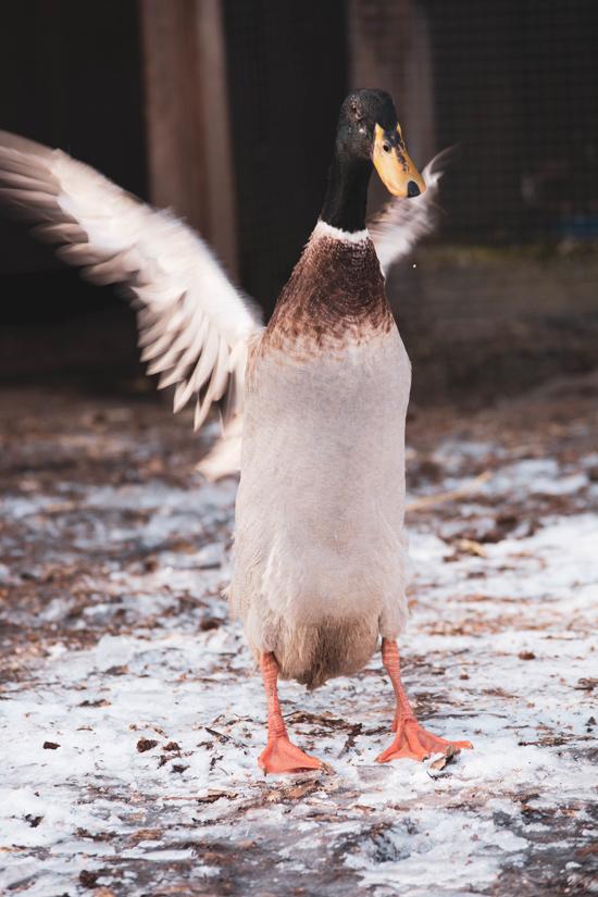 Laufente Caspar schüttelt seine Flügel