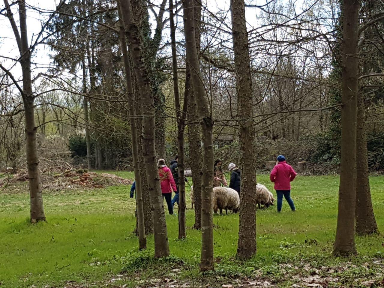 Die Schafe lieben das frische Gras im Frühling.