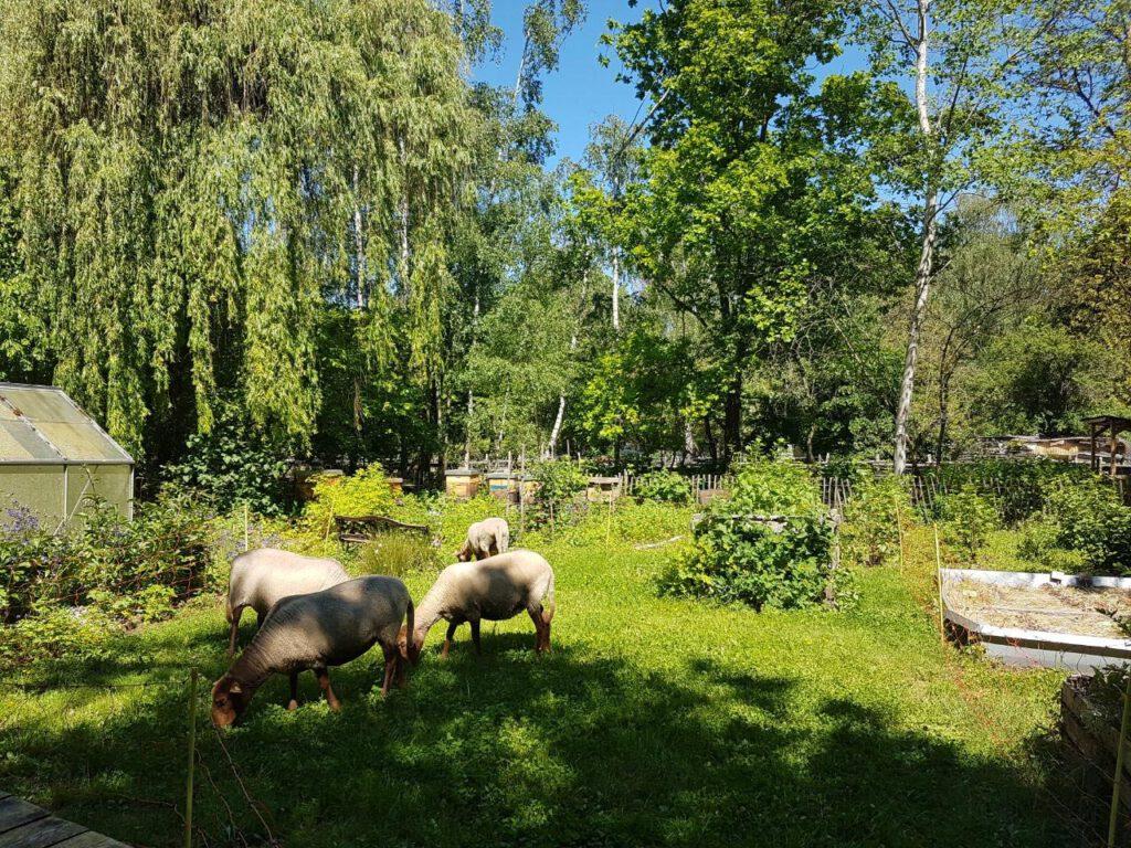 Unsere Schafe grasen im Garten.
